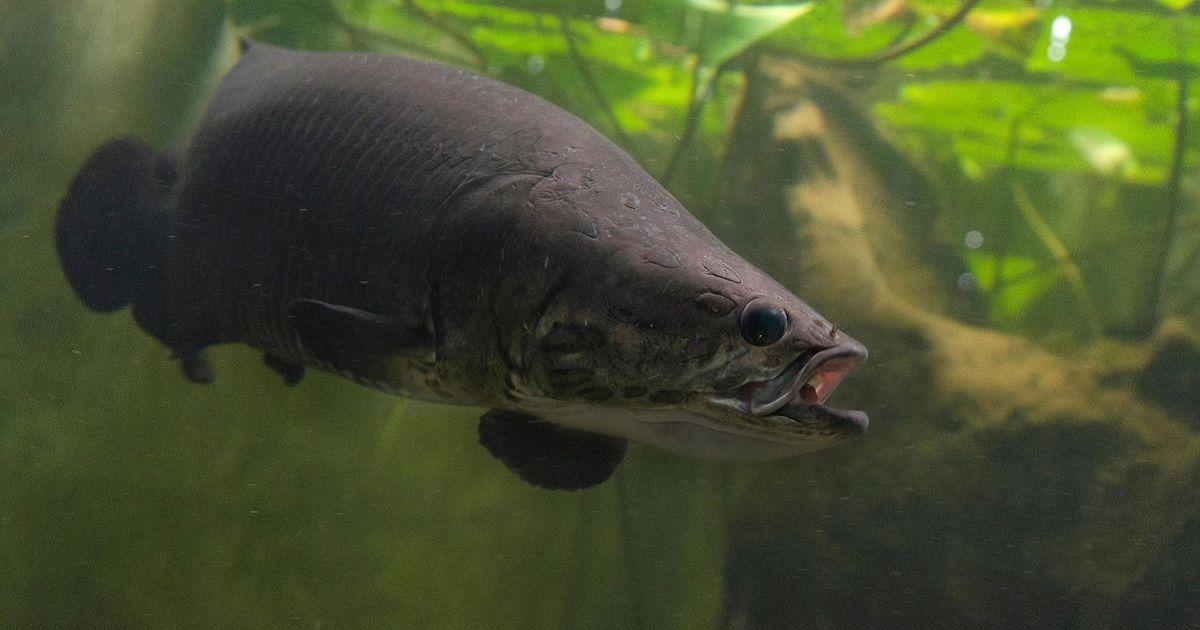 Descubren una nueva especie de pez que respira fuera del agua