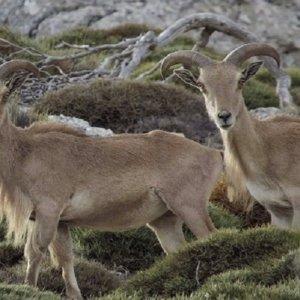 La Región de Murcia autoriza de nuevo la caza del arruí