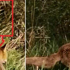 Un cazador camina hacia un zorro y se sitúa a un metro de su espalda sin que se entere