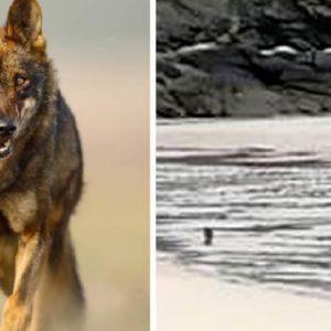 Graban a dos lobos en una playa gallega y los vecinos explotan: «¿Qué pasa si se cruzan con un niño?»