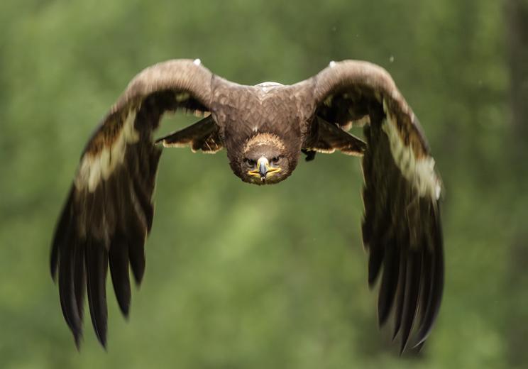 Un águila real ataca a una niña de ocho años en una exhibición de cetrería
