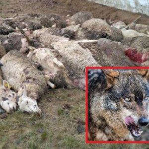 La prohibición de la caza del lobo eleva los ataques al ganado un 20% en León