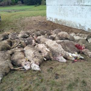 CyL estudia que los ganaderos puedan disparar al lobo para «autodefenderse»