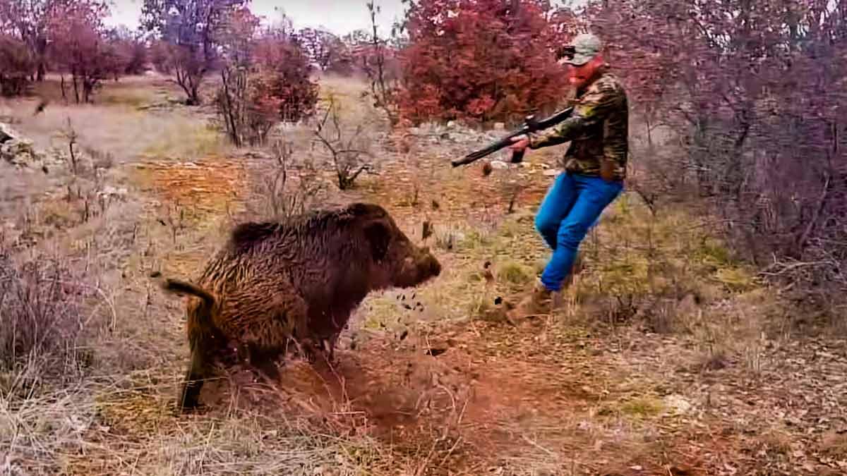 Un jabalí ataca brutalmente a un cazador y después se va a por el cámara
