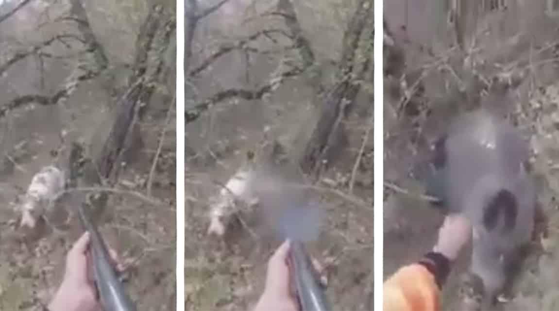 Un agresivo jabalí corre tras un perro y el cazador lo salva in extremis