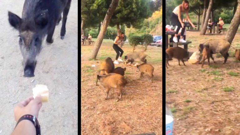 Imágenes de los jabalíes robando la comida a las personas en Barcelona.