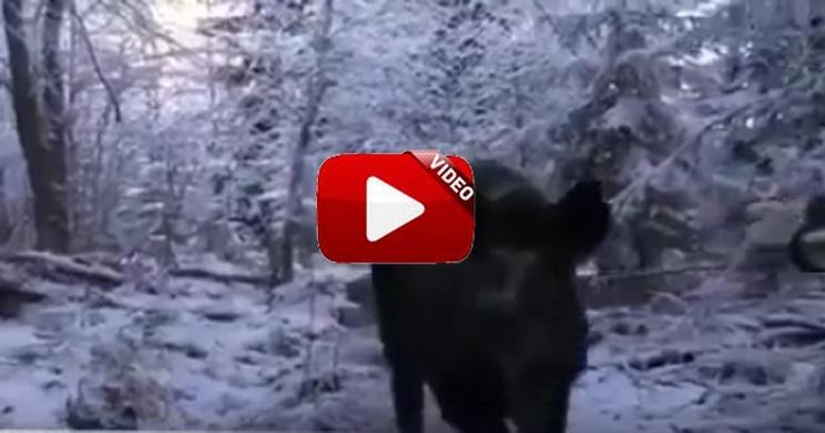 Los perros han localizado un jabalí, el cazador lo deja pasar pero… ¡se arranca hacia él!