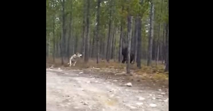 Un lobo ataca a su perro y lo graba con el móvil