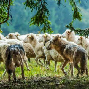 Senadores franceses piden a Europa rebajar el nivel de protección del lobo para proteger a sus ganaderos