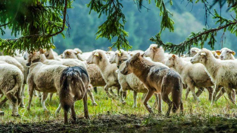 lobos atacando ovejas
