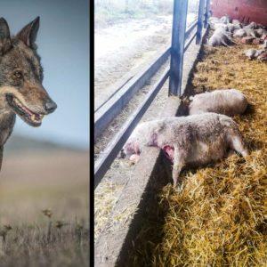 El lobo mata 60 ovejas en un pueblo de Zamora el mismo día que deciden prohibir su caza