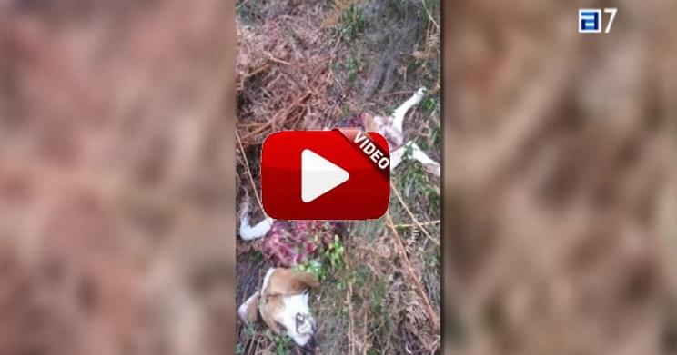 Monteros de Caso denuncian el ataque de lobos a sus perros