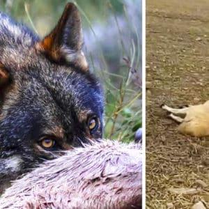 Un ganadero zamorano explota tras un ataque de lobo: «Vais a ver corderos sacados del vientre de la madre»