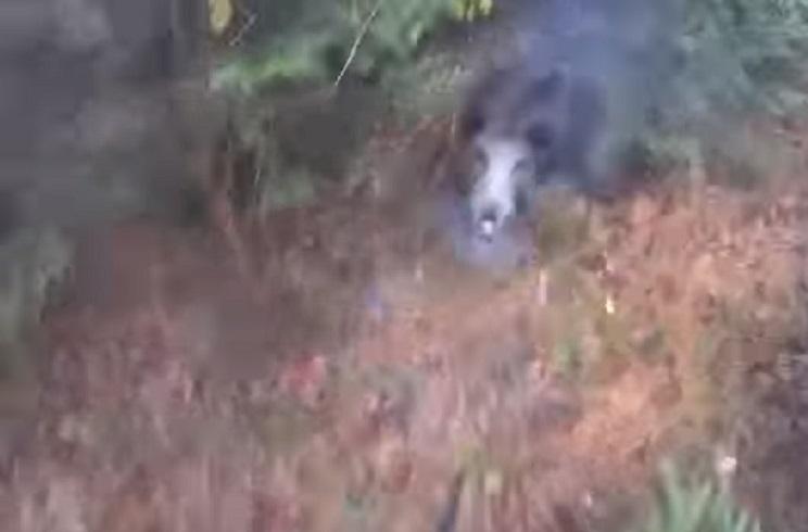 Diez ataques virales de jabalíes a cazadores