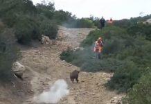 ataques de jabalíes a cazadores