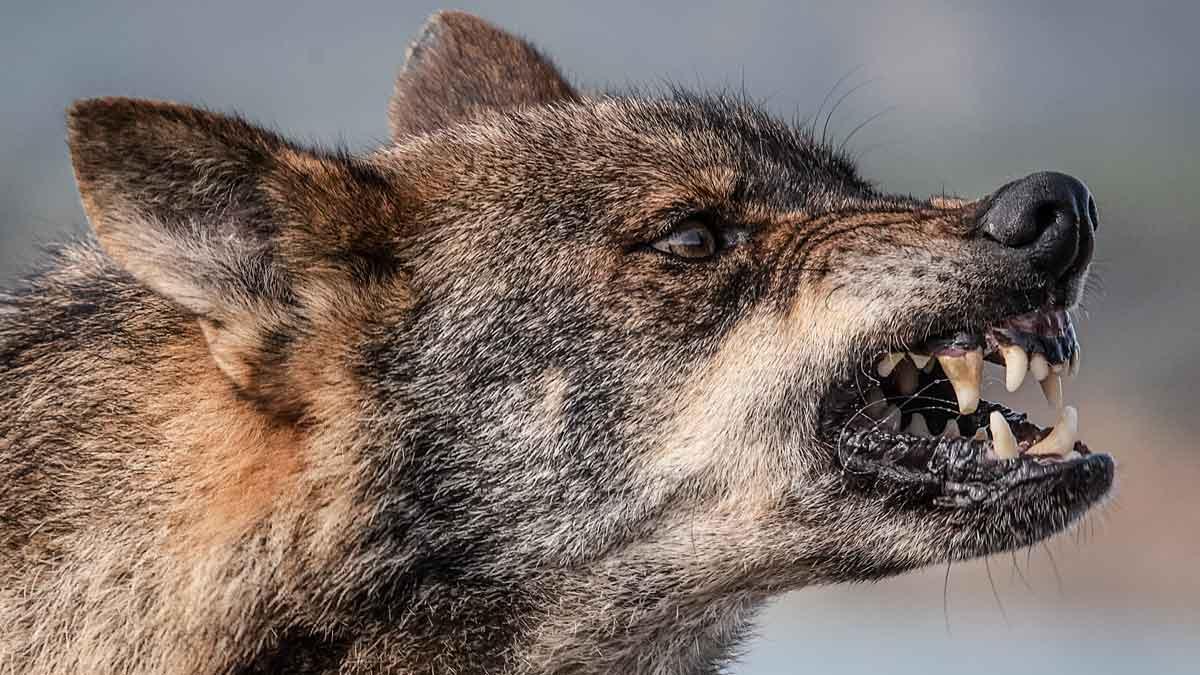 Los lobos han matado más de 61.000 cabezas de ganado en Asturias desde 1997, según un estudio