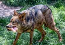 ataques-de-lobos-a-perros