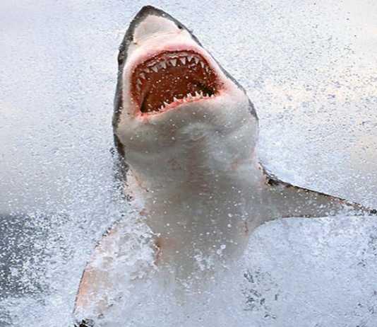 ataques de tiburon