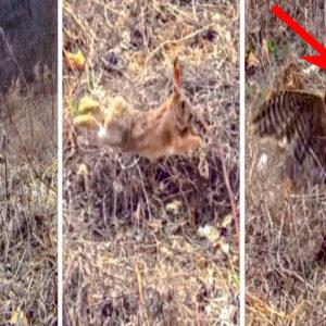 Así es el impactante instante en el que un azor caza a un conejo