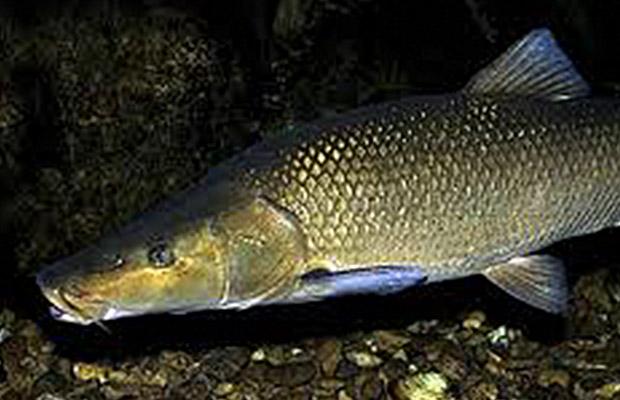 Especies pescables: El Barbo