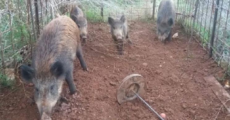 Jabalíes atrapados en una jaula en Castellón. / El Mundo