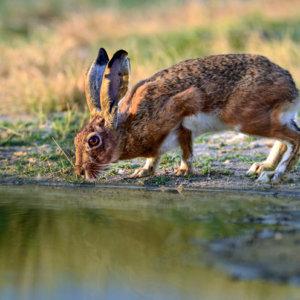 Extremadura quiere prohibir la caza al salto de la liebre