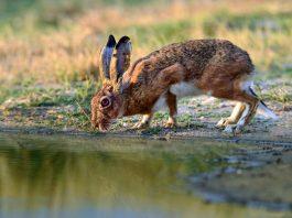 suspenden caza de la liebre en Extremadura