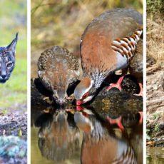 El 80% de los animales que acuden a bebederos colocados por cazadores no se cazan