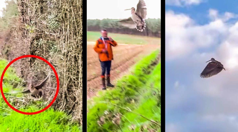 Así es el hipnótico vuelo de una becada a cámara lenta