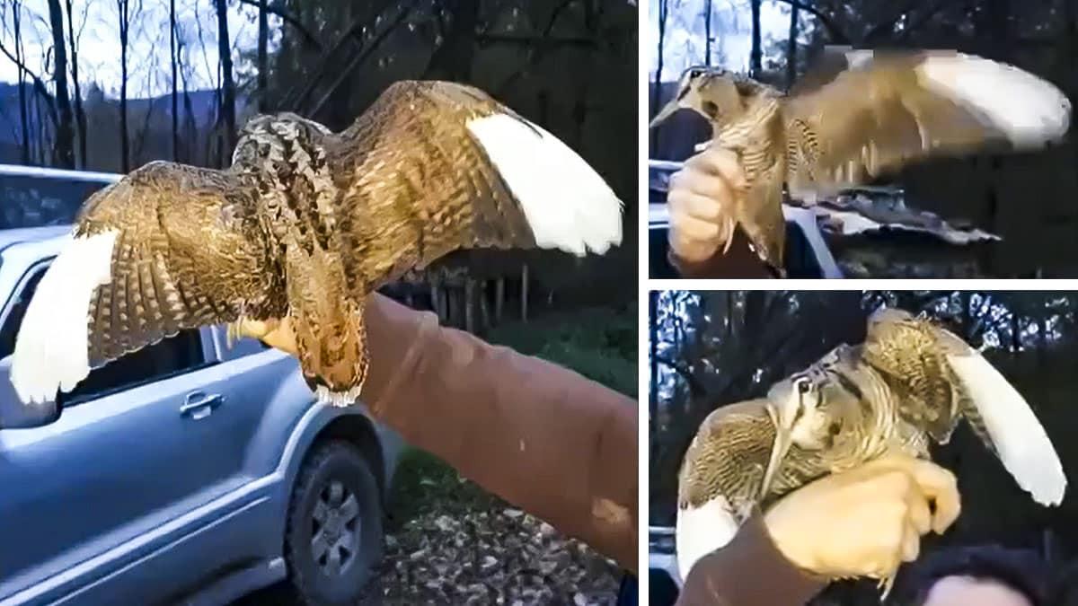 Cazan una extraña becada con las puntas de las alas blancas