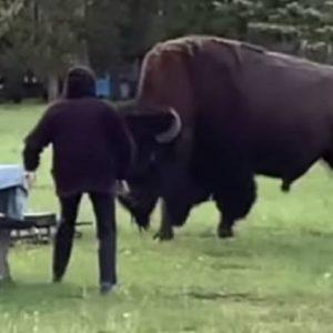 Un bisonte ataca a una mujer de 72 años y la lanza por los aires