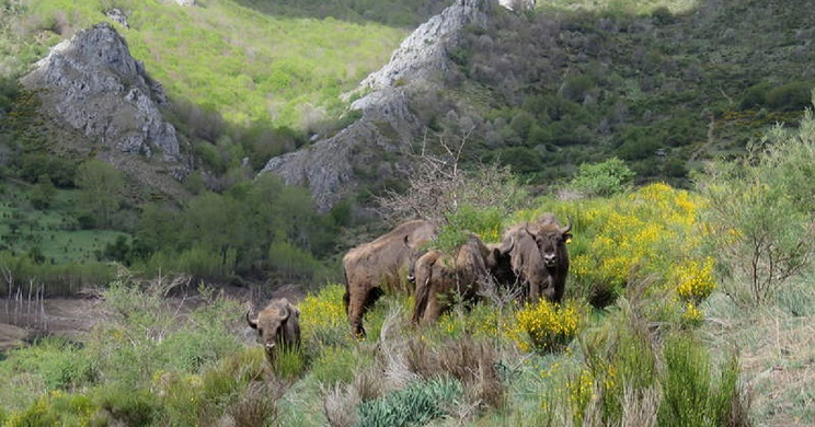 Ejemplares de bisonte europeo liberados recientemente en Riaño. / Diario de León