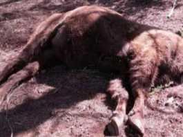 bisontes-decapitados