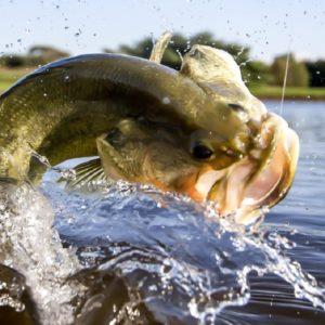 ¿Cómo pescar el black bass en otoño?
