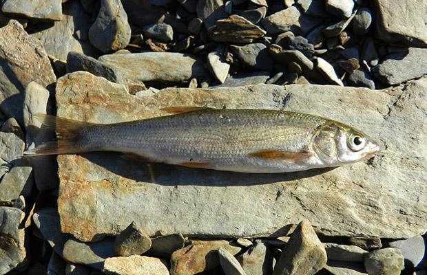 Especies pescables: La Boga