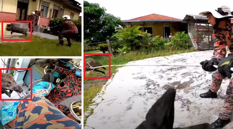 Este es el desternillante vídeo de ocho bomberos que intentan atrapar a un jabalí en un jardín
