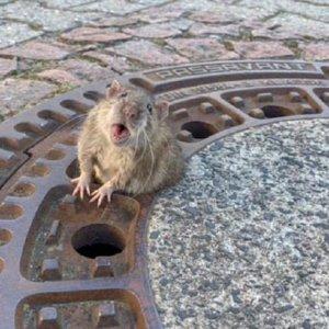 Una rata gorda queda atrapada en una alcantarilla y acuden 8 bomberos a rescatarla