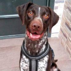 Le roban un braco alemán y el perro vuelve a casa tras escaparse