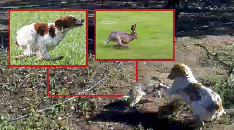 Este perro de caza se encuentra con una liebre ¡y se ponen a jugar!