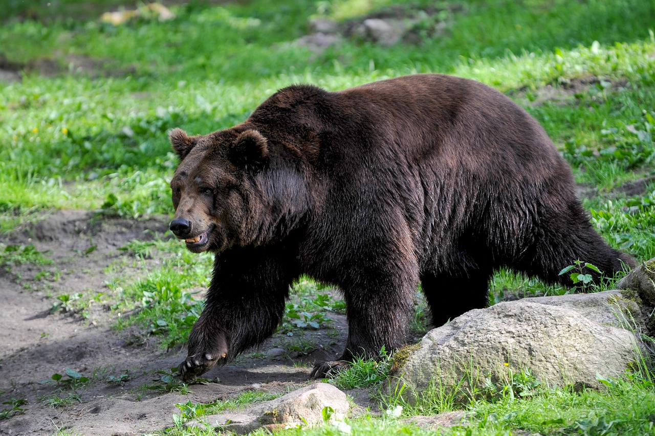 Cataluña introduce un ejemplar de oso pardo esloveno en los Pirineos