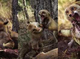 brutal pelea zorros