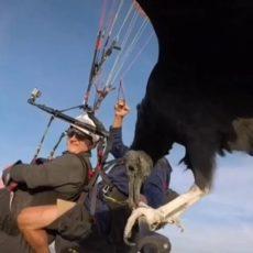 Un buitre acompaña a un parapentista y las imágenes dan la vuelta al mundo