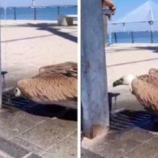 Graban cómo dan de beber agua a un buitre en la Bahía de Cádiz