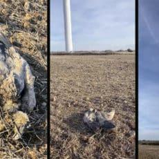 Esta joven cazadora denuncia la muerte de un buitre tras chocar con un molino eólico en Burgos