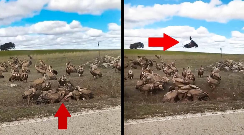 Un cazador sorprende a decenas de buitres devorando a un corzo