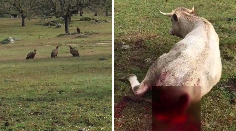 Un ganadero pilla a un bando de buitres comiendo a una vaca viva