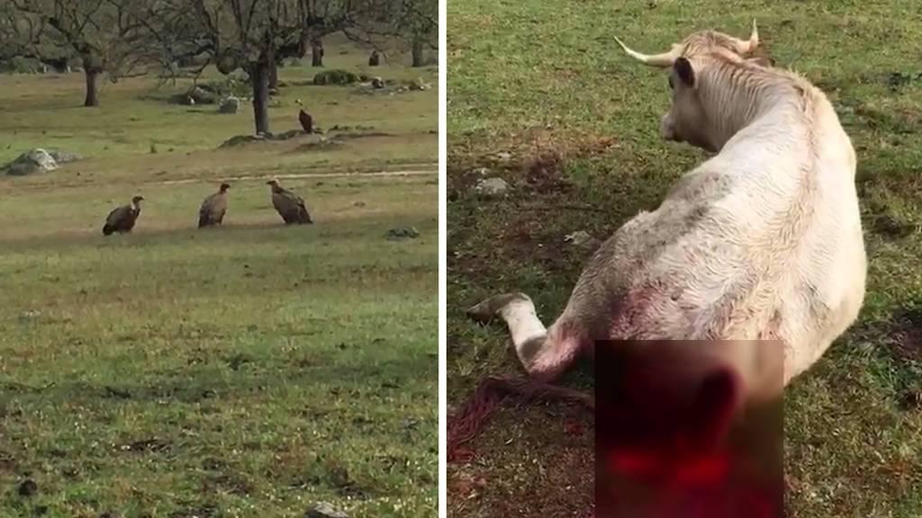 vaca atacada por los buitres
