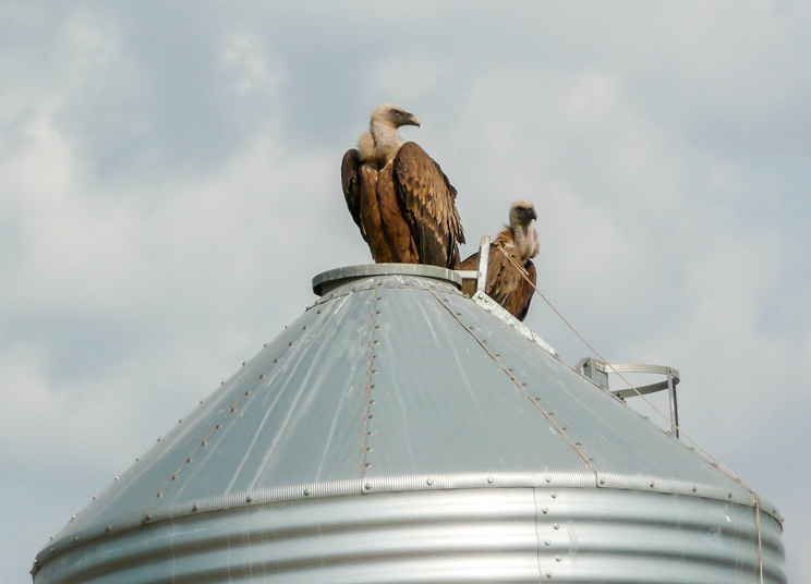 Buitres subidos al silo de una granja. /Óscar Caso