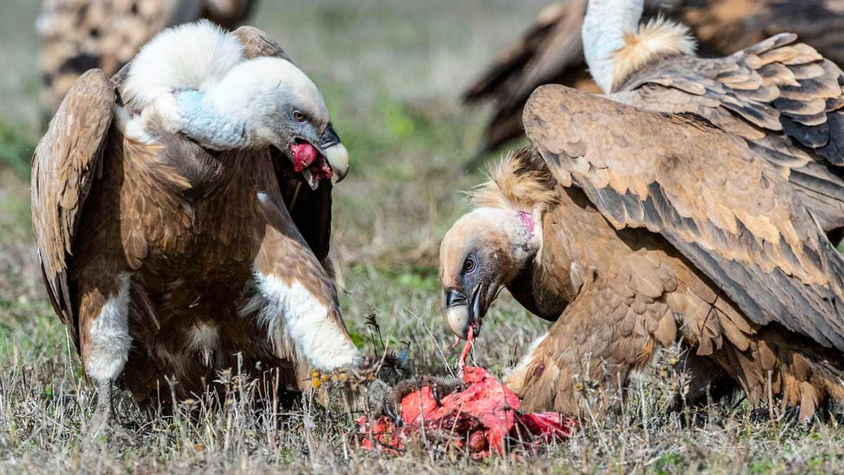 Dos científicos españoles afirman que los buitres no atacan al ganado vivo sano