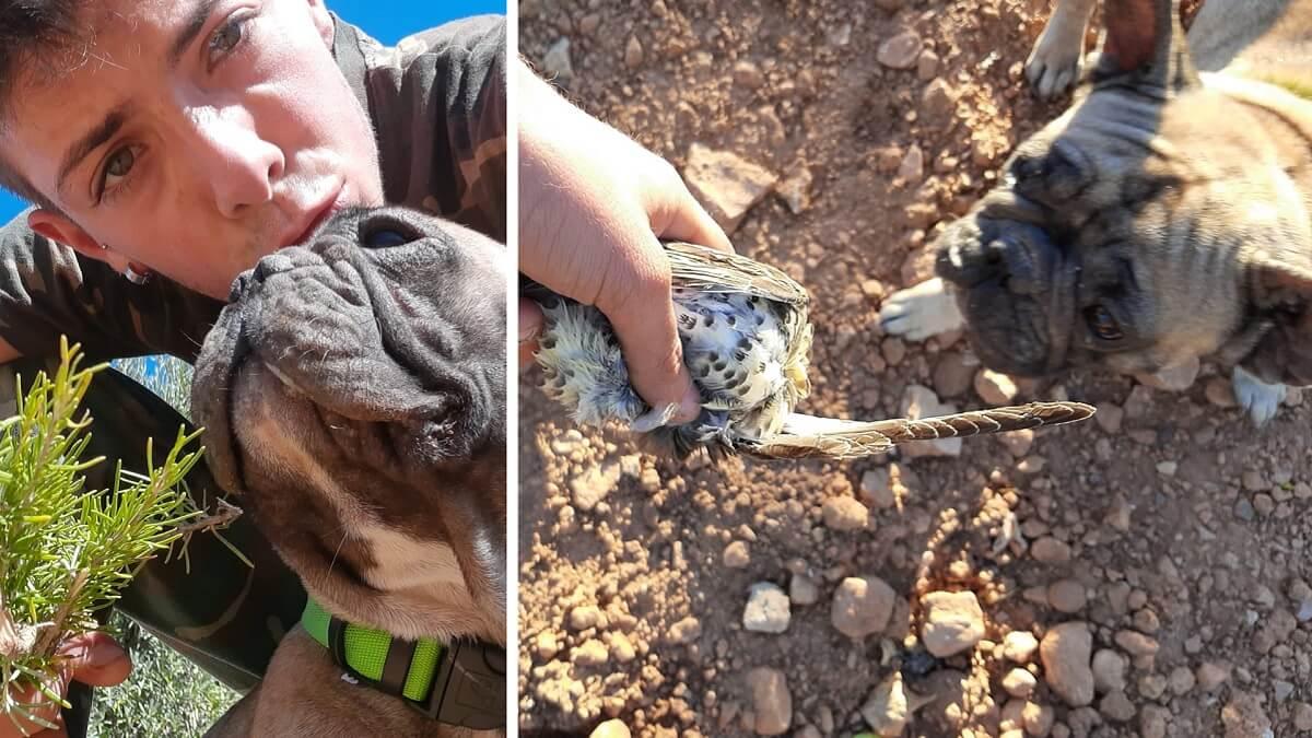 Lo nunca visto: se lleva a su bulldog francés a cazar zorzales